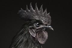 Giống gà đen có giá 1.400 USD/con ở Indonesia