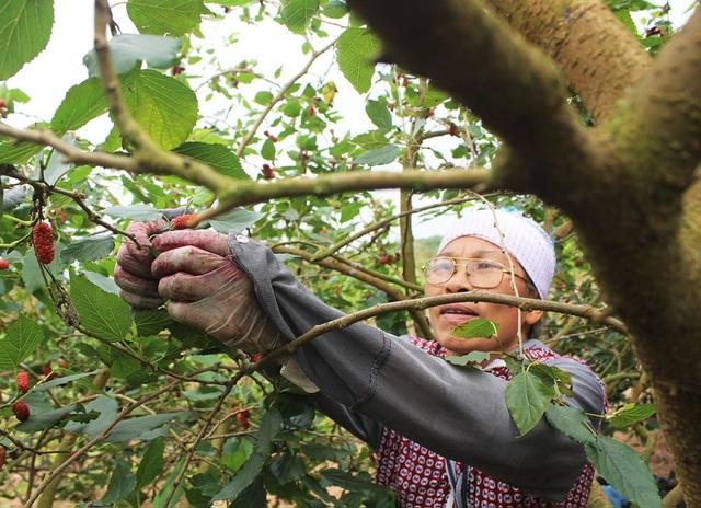 Chiêm ngưỡng vườn dâu tằm siêu to khổng lồ ở Hà Nội