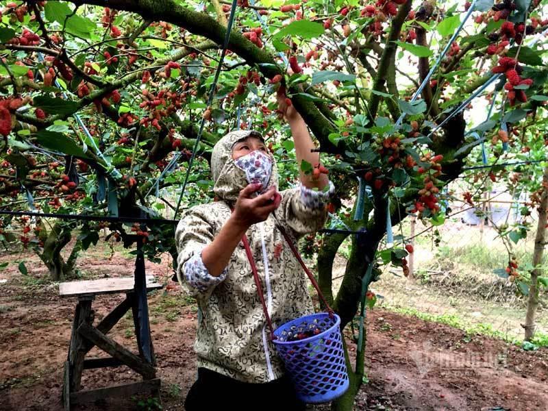 Cánh đồng dâu tằm chín mọng nổi nhất Hà Nội năm nay