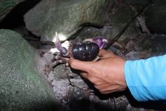 Độc đáo nghề săn cua đá trên đảo Cù Lao Chàm, kiếm hàng triệu mỗi đêm