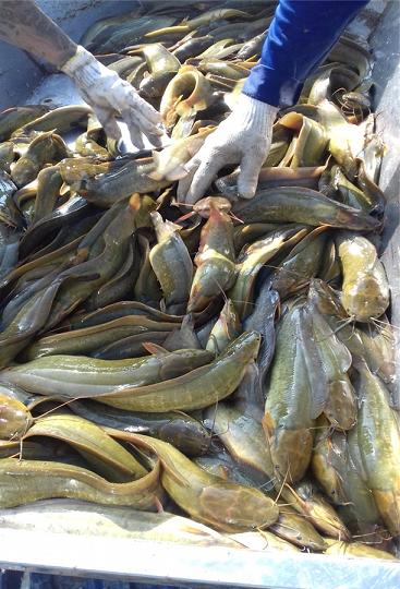 Hậu Giang: Nuôi cá trê vàng mùa cạn, xúc bán 45 tấn, lời tới 800 triệu