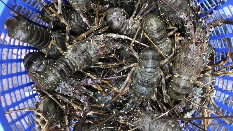 Chủ hàng hải sản chỉ cách phân biệt 5 loại tôm hùm để không bị chặt chém