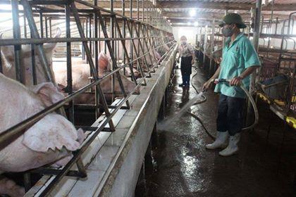 Nhiều địa phương ở Thanh Hóa công bố hết dịch tả lợn châu Phi