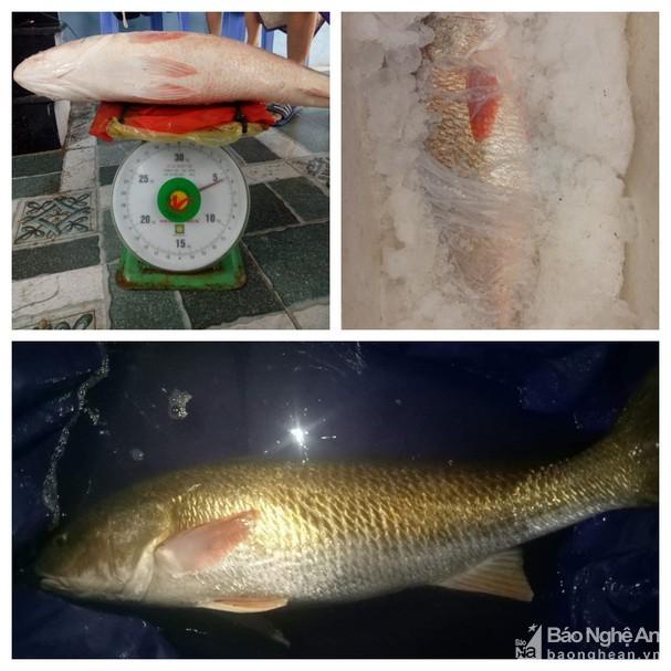 Câu được cá lạ hơn 5kg, nghi là sủ vàng quý hiếm