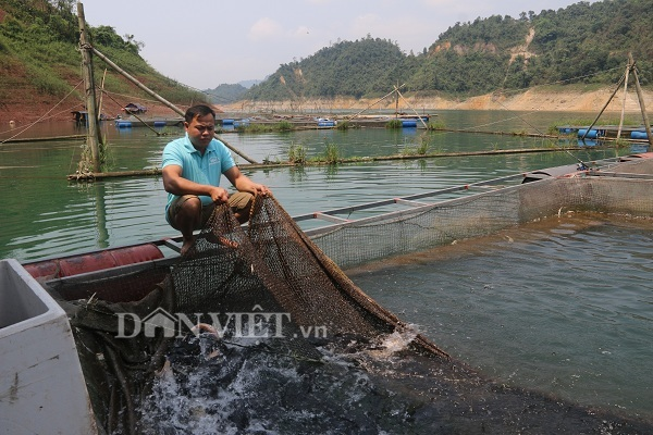 Thu 300 triệu/năm nhờ nuôi loài cá từng tiến vua ở hồ sông Đà