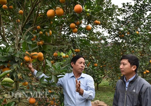 Thôi chức giám đốc về trồng cam V2, thu hàng trăm triệu/năm