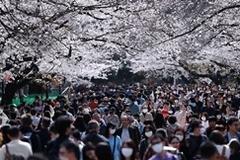 Bất chấp Covid-19, cả chục nghìn người vẫn đi ngắm hoa anh đào