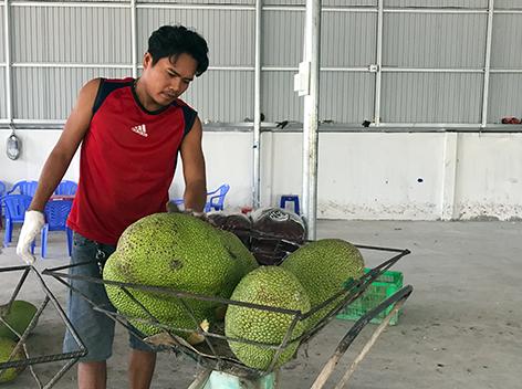 Đang rẻ rề, giá mít Thái miền Tây lại tăng vọt, dân phấn chấn