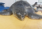 Sick sea turtle recovers after a month of care