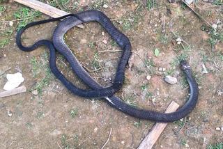 Người đàn ông bị rắn hổ chúa dài 2,6m cắn chết