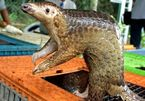 Coronavirus: Pangolins found to carry related strains