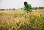 """Mekong Delta's """"start-up farmer"""" in search of organic rice"""