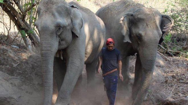 Coronavirus: Thai elephants face starvation as tourism collapses
