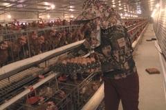 Lạ lùng chuyện nam thanh niên nuôi gà cho nghe nhạc thu nhập tiền tỷ