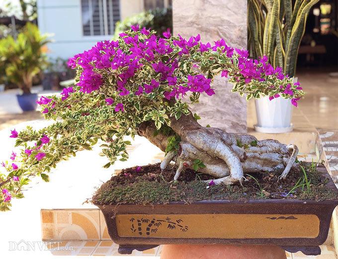 Bộ sưu tập bonsai hoa giấy hình thù độc lạ, hiếm thấy ở miền Tây