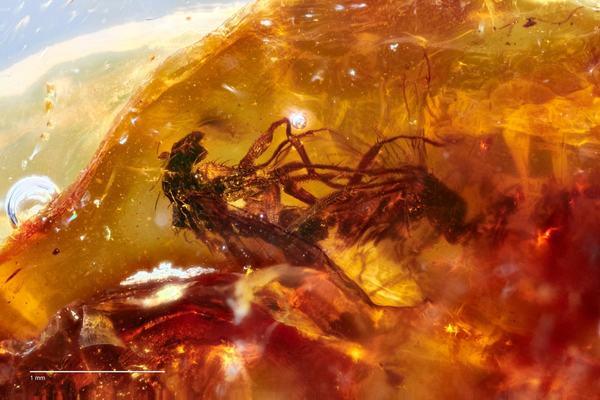 Cặp ruồi mắc kẹt 41 triệu năm trong miếng hổ phách