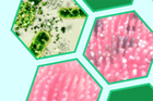 Nghiên cứu thành công hoạt chất Plantimun giúp tăng cường miễn dịch
