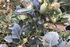 Cây su hào đặc biệt, củ mọc sai trĩu như cây ăn quả khiến dân mạng bất ngờ