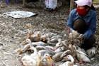 Nguồn cung dư thừa, thịt và trứng gia cầm giảm sâu