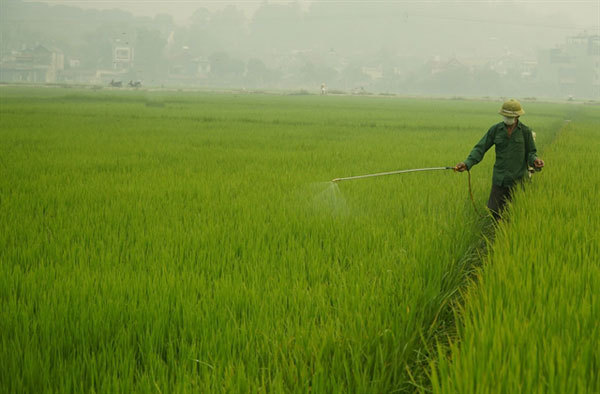 Winter-spring rice crop at high risk of disease: Agriculture minister