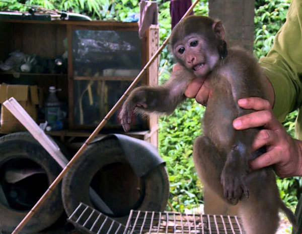 Rare primate returned to nature in Tuyen Quang