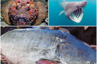 Phạt loạt nhà hàng nổi tiếng Đà Nẵng vì lưu giữ các loại cá cực quý