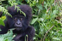 Coronavirus: Great apes on lockdown over threat of disease