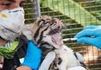 Endangered clouded leopard kittens born at US zoo