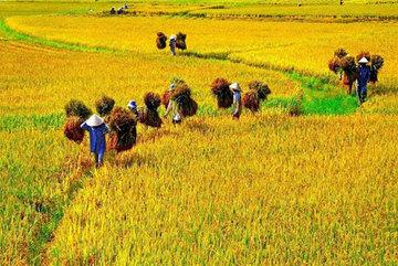 Organic rice zone emerged in central Vietnam