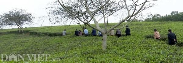Phú Thọ: Tìm giống chè tím được ví là 'cha đẻ' của chè Việt Nam