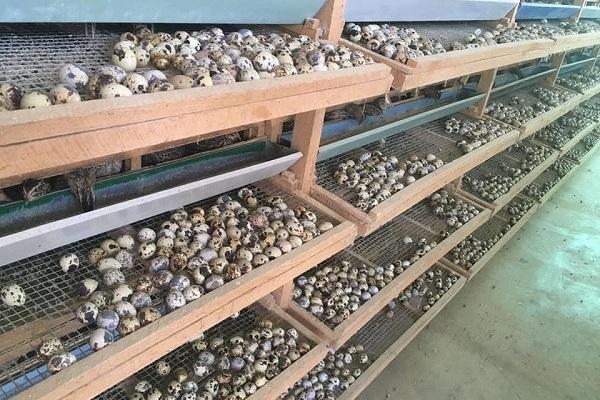 18.000 đồng 100 quả trứng cút, người nuôi bán tháo đàn bù lỗ trăm triệu