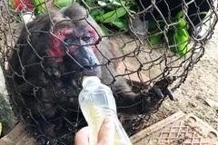 Khỉ mặt đỏ quý hiếm xuất hiện trong vườn nhà dân