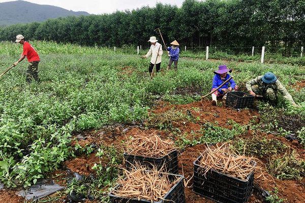 Bất ngờ về sâm 'tiến vua' dân Quảng Trị trồng thu cả tạ