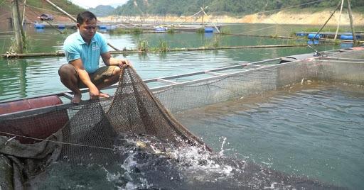 Bất ngờ đàn cá lăng tiến vua hàng ngàn con trên hồ Hoà Bình