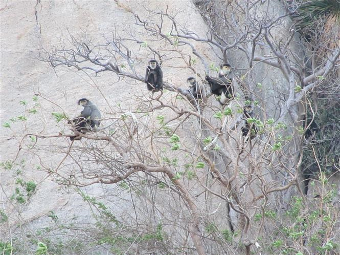 Black shanked douc langurs spotted in Ninh Thuan