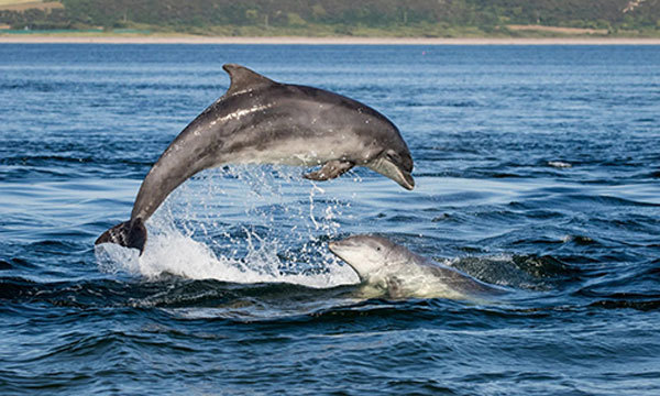Dolphins return to Nha Trang, Binh Thuan beaches