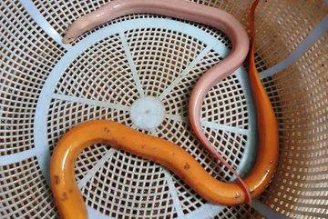 Nha Trang: Dân bắt được cặp lươn màu sắc lạ, trả 10 triệu không bán