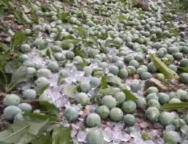 Hàng trăm tấn mận phải đổ bỏ, nông dân Sơn La 'kêu cứu'