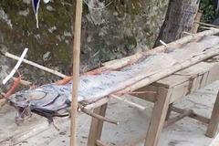 Quảng Ngãi: Hiếm thấy cá hố khủng dài 4,5 m tấp vào biển Bình Hải