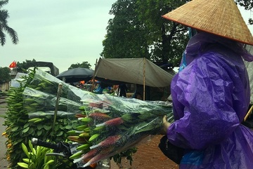 Giá hoa ly 'rẻ như cho', nông dân Tây Tựu khóc ròng trên 'đống nợ'