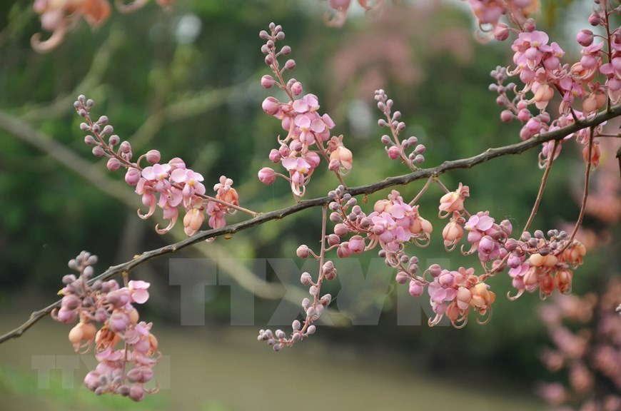 Pink shower blossoms,an giang,mekong delta,Vietnam in photos
