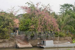 Pink shower blossoms bloom in Mekong Delta province