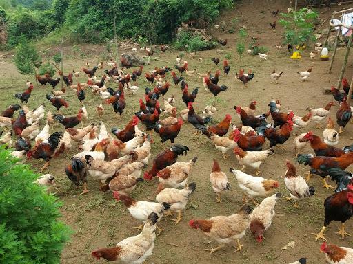 Ế vạn con gà ri, càng nuôi càng lỗ mong chờ 'giải cứu'