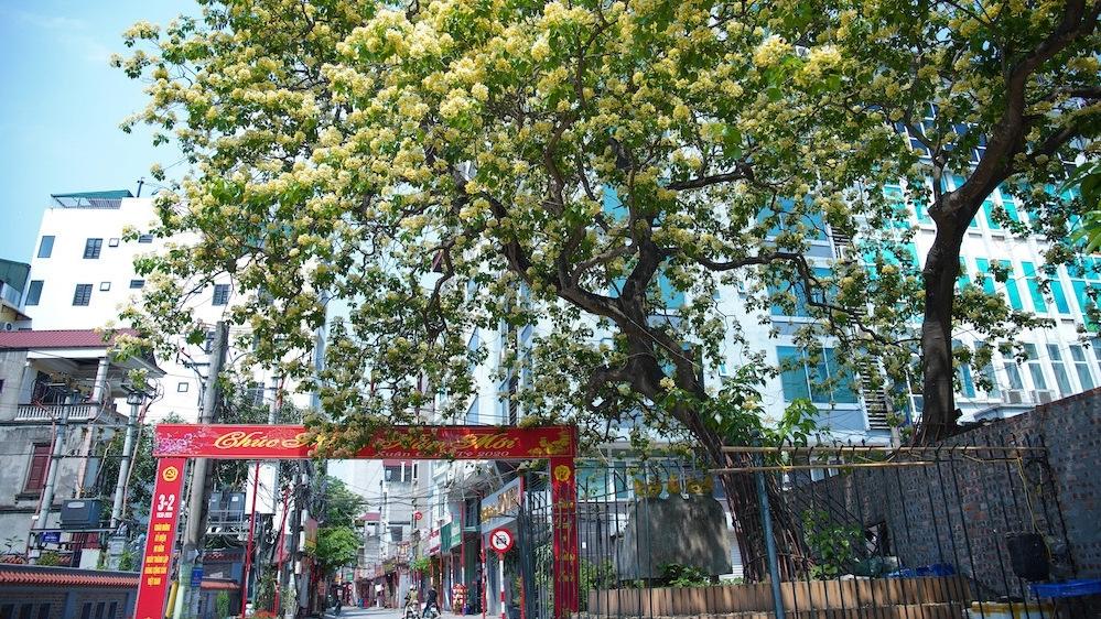 Hanoi: Crateva nurvala flowers bloom brilliantly in late spring