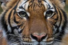 Hàng loạt hổ, sư tử ở vườn thú nổi tiếng New York bị nhiễm Covid-19