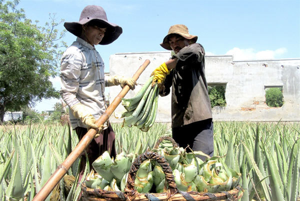 Hot weather sends demand for aloe vera soaring, farmers laughing all the way to the bank