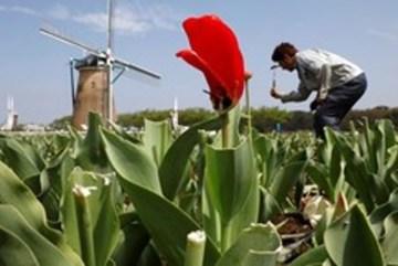 Nhật phá trăm nghìn gốc hoa chống dịch Covid-19