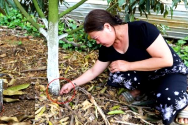 Nữ chủ vườn sầu riêng khóc nấc khi cây bị khoan lỗ, đầu độc chết