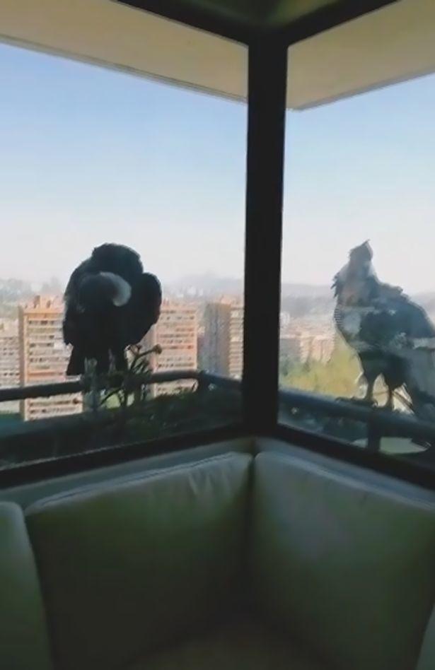 Kền kền khổng lồ lao vào cửa kính, toan bắt chó con trong nhà