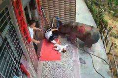 Thót tim cảnh trâu điên tấn công bà mẹ bế con nhỏ ngay trước cửa nhà
